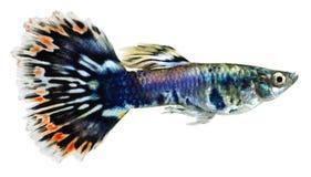 鱼色彩艳丽的胎生小鱼poecilia reticulata 免版税库存图片