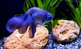 鱼蓝色 免版税图库摄影