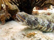 鱼蜥蜴 免版税库存图片