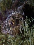 鱼蝎子 免版税库存照片