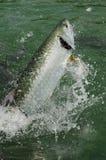 鱼跳出的大海鲢水 免版税库存图片