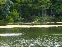 鱼跳出的水 免版税图库摄影