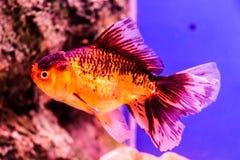 鱼金子隔离白色 免版税库存图片