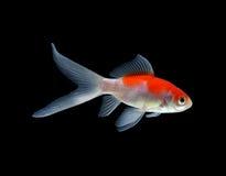 鱼金子隔离白色 免版税库存照片