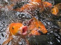 鱼金子隔离白色 库存图片