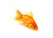 鱼金子 免版税库存图片