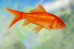 鱼金子 免版税图库摄影