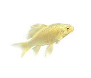 鱼金黄koi 库存照片