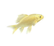 鱼金黄koi 库存图片