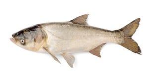 鱼银色鲤鱼, Hypophthalmichthys Molitrix 免版税库存照片