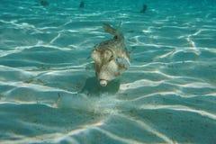 鱼长角牛海牛水下Lactoria的cornuta 免版税库存照片