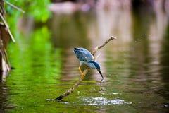 鱼食者是在河附近被找到的鸟 库存照片