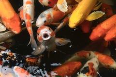鱼鲤鱼花梢/koi在池塘,日本全国动物 免版税库存图片