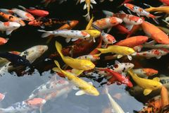 鱼鲤鱼花梢/koi在池塘,日本全国动物 免版税图库摄影