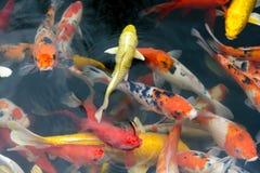 鱼鲤鱼花梢/koi在池塘,日本全国动物 免版税库存照片