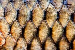 鱼鳞皮肤宏指令视图 照片大鲤鱼金黄鳞状织地不很细样式 选择聚焦,浅深度领域 图库摄影