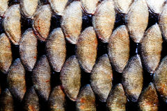 鱼鳞皮肤宏指令视图 照片大鲤鱼金黄鳞状织地不很细样式 选择聚焦,浅深度领域 免版税图库摄影