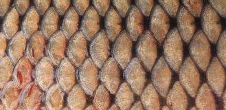 鱼鳞纹理关闭。 免版税库存图片