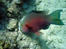 鱼鹦鹉 库存照片