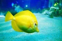 鱼黄色 免版税图库摄影