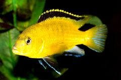 鱼黄色 库存图片