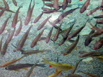鱼水下图象的鳟鱼 库存图片