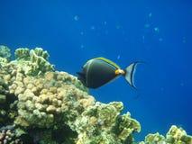鱼临近礁石外科医生 免版税库存图片