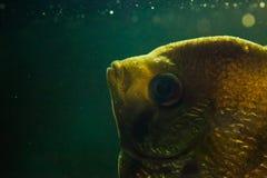 鱼Gurami特写镜头照片在水族馆水中 抽象派背景 免版税库存图片
