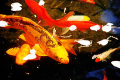 鱼koi池塘 免版税图库摄影