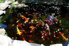 鱼koi池塘 库存图片