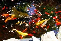 鱼koi池塘 图库摄影