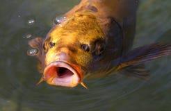 鱼koi 免版税库存图片