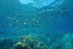 鱼salema钉头鱼西班牙地中海浅滩  库存图片