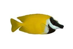 鱼siganus热带vulpinus 免版税库存照片