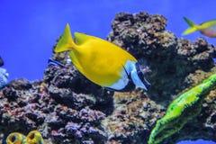 鱼Siganus vulpinus在珊瑚背景游泳 库存图片