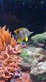 鱼Yellowstriped Waterwold珊瑚 库存照片