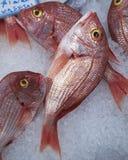 鲂鱼冰红海 免版税库存照片
