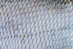 鲂鱼鳞构造了皮肤样式宏指令视图 选择聚焦,浅深度领域 免版税库存照片