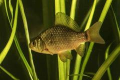 鲋鱼在池塘 免版税图库摄影