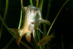 鲋鲫属鲫属和共同的鲤鱼鲤属腕 免版税库存图片