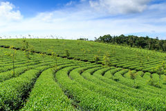 鲍地点高地的,越南茶农场 免版税库存图片