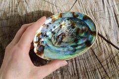 鲍鱼在自然木背景的Paua壳 免版税库存照片