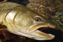 鲑鱼 免版税库存图片
