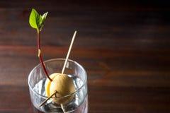 鲕梨新芽从在一杯的种子增长水 有叶子的有生命的植物,生活初期在一张木桌上的 免版税库存照片