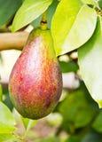 鲕梨果树栽培在tree2 免版税库存图片