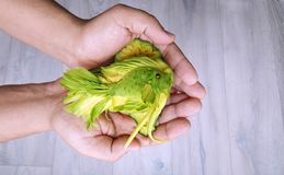 鲕梨雕刻-不可思议的绿色鱼被删去鲕梨在厨师的手上 免版税库存图片