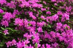 鲕梨 在杜娟花灌木的明亮和水多的花 与美丽的花的花卉背景 免版税库存照片