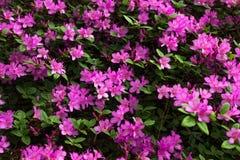 鲕梨 在杜娟花灌木的明亮和水多的花 与美丽的花的花卉背景 免版税库存图片