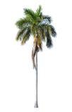 鲜亮的棕榈被隔绝的棚子叶子 免版税库存照片