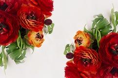鲜红毛茛开花有绿色叶子顶视图作为在白色背景的装饰边界 高雅春天花束 库存照片